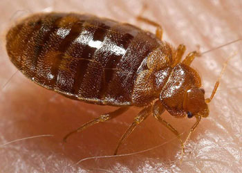 Bed Bugs inside a Douglasville house